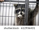 Raccoon  American Raccoon  In...