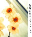 Daffodil Spring Flowers ...