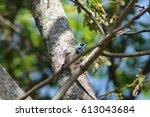 african blue headed lizard  | Shutterstock . vector #613043684