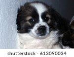 puppy   Shutterstock . vector #613090034