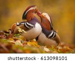 Mandarin ducks in love