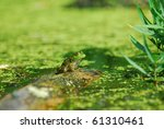 an aquatic green frog sits... | Shutterstock . vector #61310461
