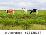 Cow Herd Grazing In Field