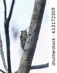 Small photo of Cicada always sing in the morning and evening.