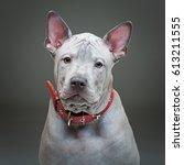 thai ridgeback puppy | Shutterstock . vector #613211555