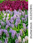 hyacinths in the garden. | Shutterstock . vector #613252841