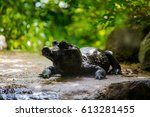 Small photo of The African Dwarf Crocodile