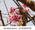 Small photo of Brown-eared Bulbul (Hypsipetes amaurotic) on Sakura tree in cherry blossom season in Yokohama, Japan.