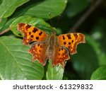 Comma Butterfly On A Leaf ...