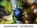 beetle dung beetle enoplotrupes ... | Shutterstock . vector #613362761