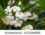 frangipani  plumeria  on tree... | Shutterstock . vector #613366889