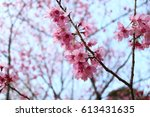 pink cherry blossoms and blue... | Shutterstock . vector #613431635