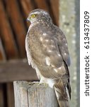 Small photo of Sparrowhawk (Accipiter nisus)