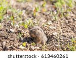Small photo of Botta's Pocket Gopher - Thomomys bottae, peeking out from its burrow. Santa Clara County, California, USA.