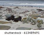 Magellanic Oystercatchers ...