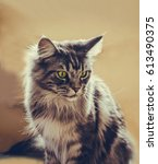 maine coon. the largest cat.... | Shutterstock . vector #613490375
