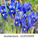 Dwarf Iris Frost On Dwarf Iris