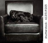 dog sleeping on chair   Shutterstock . vector #613519205