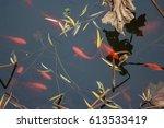 Koi Carp Fish In The Lake. Red...
