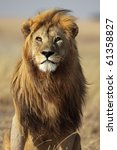 Majestic lion male with golden mane, Serengeti, Tanzania - stock photo