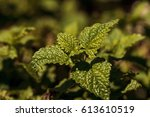 Small photo of Lemon verbena herb called Aloysia triphylla grows in an organic garden in spring.