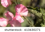 Sweet Pea Flower Mix Called...