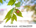 tree with fruits of muntingia...   Shutterstock . vector #613662059