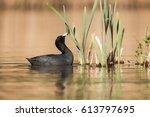 Eurasian Coot  Coot  Birds