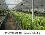 beautiful green cactus flower... | Shutterstock . vector #613843151