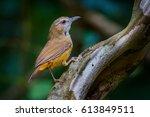 Small photo of Abbott's Babbler (Malacocincla abbotti) in real nature of Thailand