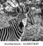 portrait of a burchell's zebra... | Shutterstock . vector #613857839