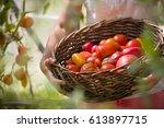 Ripe Organic Tomatoes In...