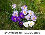 Crocuses flowers. A group of crocuses in the grass.