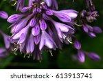 Flower Hosta Growing In The...