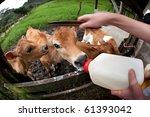 Feeding Hungry Calves On Costa...
