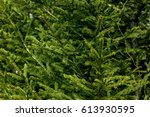 Branches Of Fir Trees Growing...