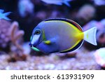 Small photo of Powder Brown Tang (Acanthurus japonicus)