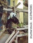 panda bear. bamboo bear. panda... | Shutterstock . vector #613964081