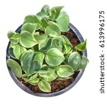 Small photo of Golden pothos or ivy arum in black pot isolated, white background with clipping path or selection path