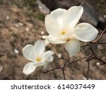 Small photo of Spring of Magnolia flowering