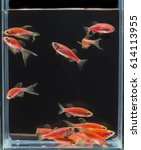 Small photo of New Zebra danio mutation,Zebrafish,Glofish,albinism,Thailand