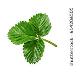 strawberry leaf isolated on the ... | Shutterstock . vector #614206505
