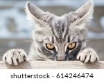Stock photo angry cat looks in front 614246474