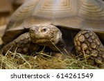 large turtle sitting in sawdust ... | Shutterstock . vector #614261549