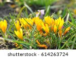 yellow crocuses growing on the...   Shutterstock . vector #614263724