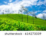 Tea Plantation . Nature...