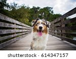australian shepherd puppy | Shutterstock . vector #614347157