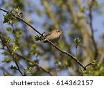 chiffchaff in tree | Shutterstock . vector #614362157