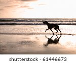 Stock photo silhouette of a vizsla dog walking on the beach at sunset 61446673
