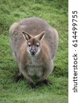 Bennetts Wallaby Crouched Down...